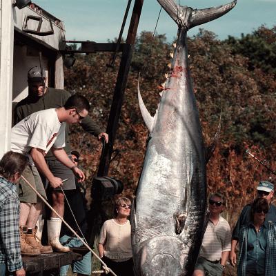 Landing Giant Tuna