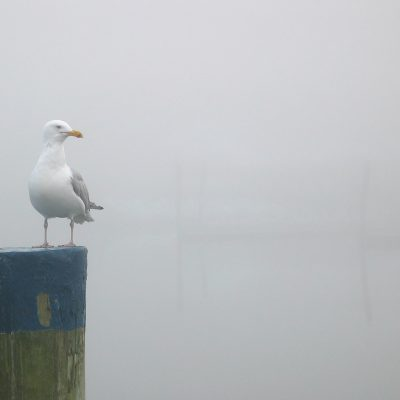 Fog Bound Gull